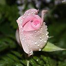 *Pink Rosebud* by Van Coleman