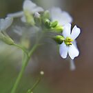 White wild flower by Antanas