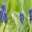 Grape Hyacinth by Ryan Houston