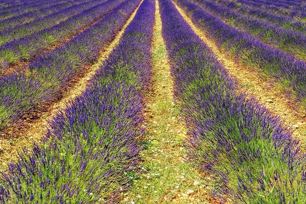 Row Cultivation Of Lavender At Sault, Provence, France by Susan Dost