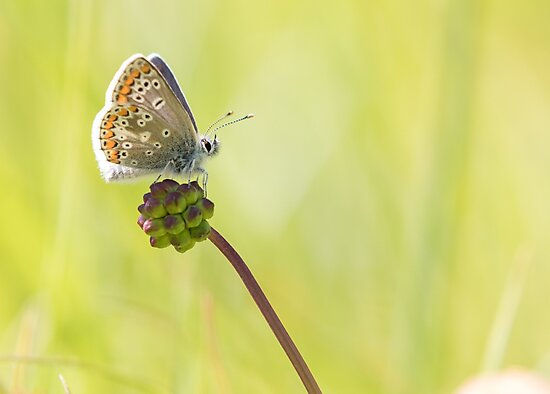 Brown Argus by Lauren Tucker