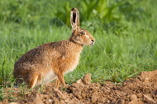 Wild hare portrait in Norfolk UK by simonbratt