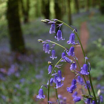 Bluebells of Knockbarren Wood by alisonchambers