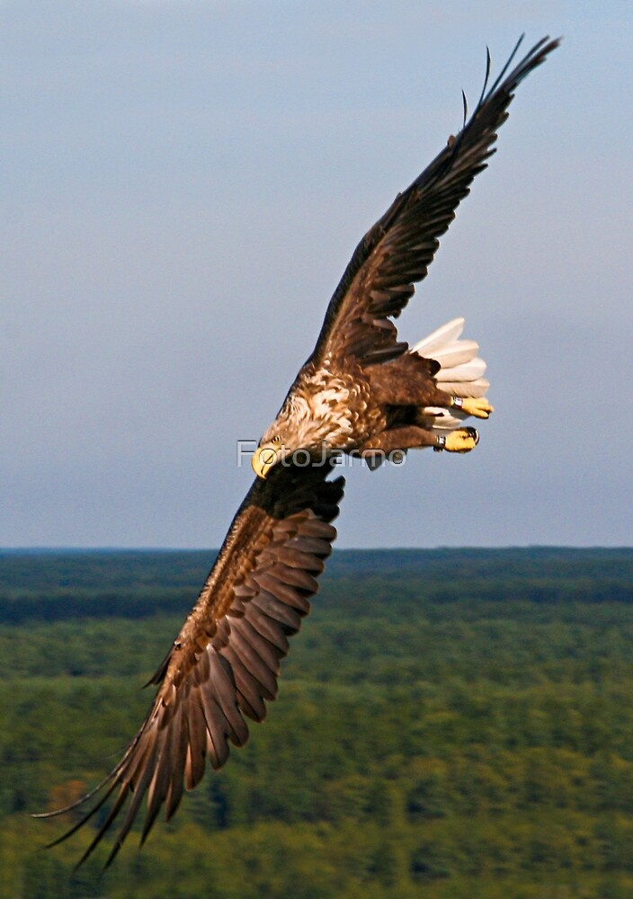 White tailed Eagle by Jarmo Juntunen