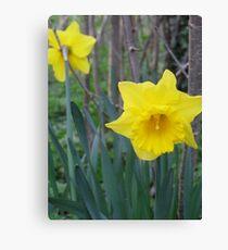British Springtime Daffodils Canvas Print
