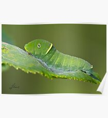 Canadian Tiger Swallowtail Caterpillar Poster