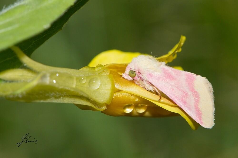 Primrose Moth by DigitallyStill