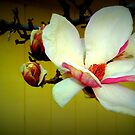 Magnolia - Lomo by Oranje