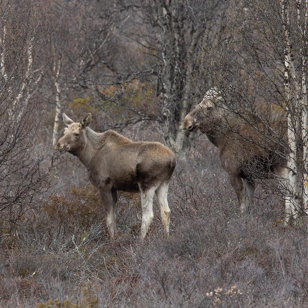 Moose by Joar Buvarp