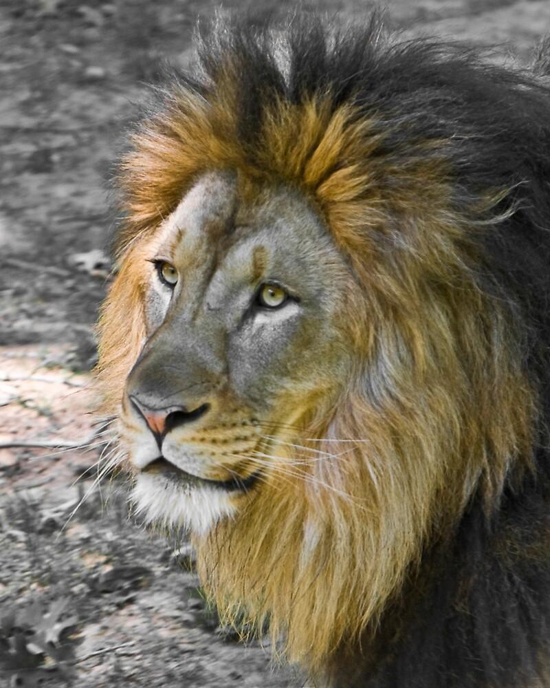 Lion Portrait by Vecchionefilm