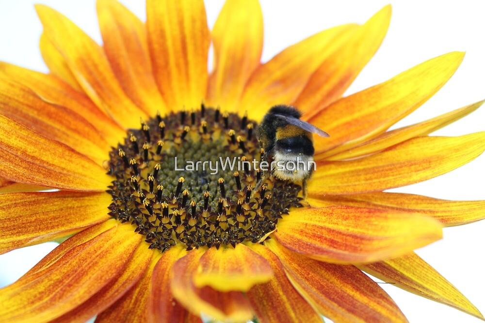Fire sunflower with bee by LarryWintersohn
