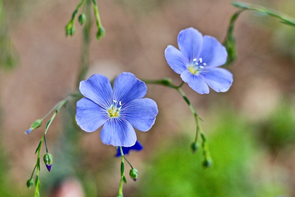 Flax Blossoms by starbornalchemy