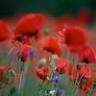 Views 12529. Beautiful dancing poppy flowers.   A mnie jet szkoda lata. Andre Brown Sugar This image Has Been S O L D .  Fav 41 .  Buy what you like! Thx! by © Andrzej Goszcz,M.D. Ph.D