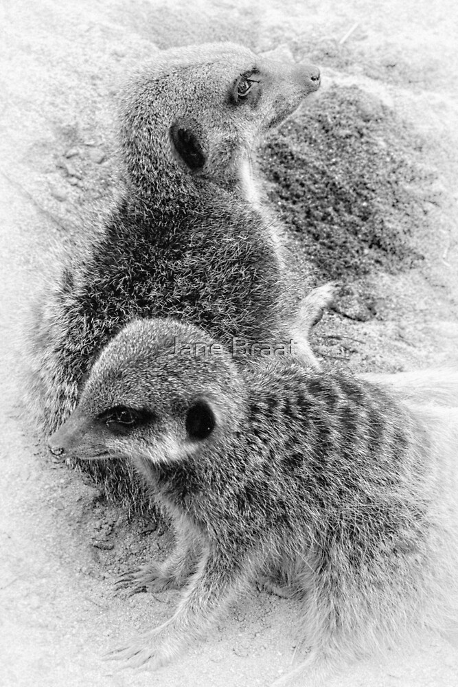 Little Meerkats by JM Braat Photography
