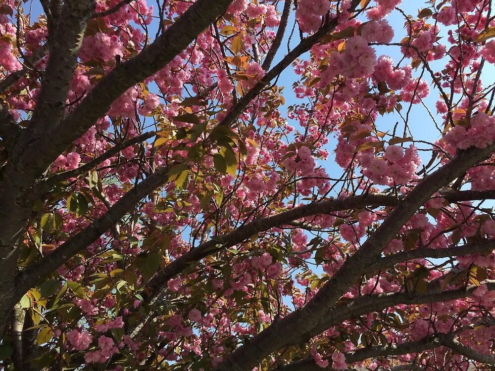 Cherry Blossom by NickDeBlasio