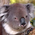 Koala at Cleland Park by Jerry Walter