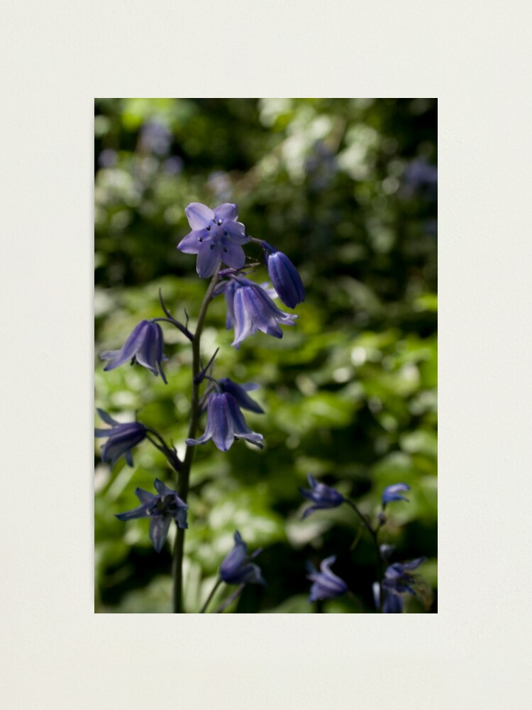 Alternate view of Bluebell Photographic Print