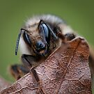 Bee on a Leaf by toby snelgrove  IPA