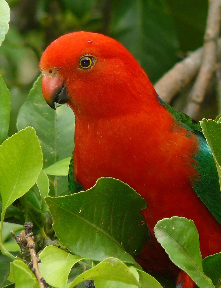 Australian King Parrot.....Up Close and Personal  by Margaret Stockdale