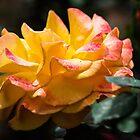 Gelbe und rosa Rose von Margan  Zajdowicz