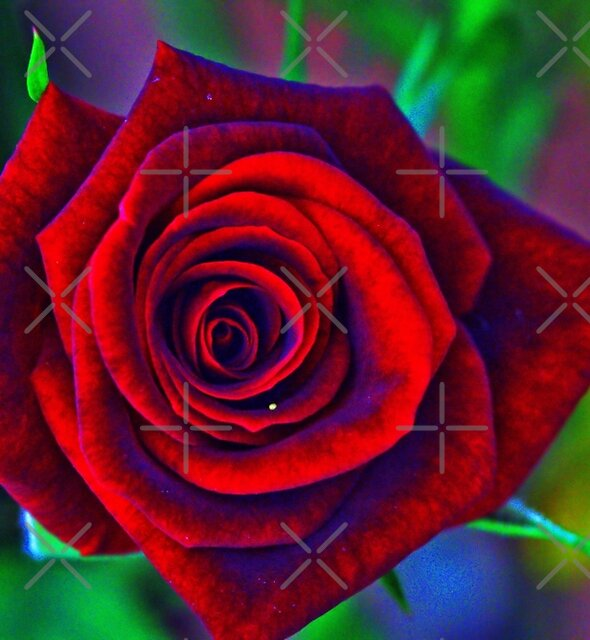 HDR ROSE by TeAnne