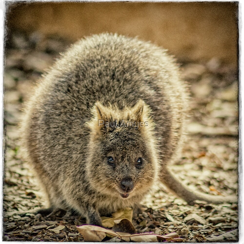 Quokka by Paul Amyes