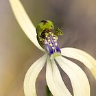 Leafless Orchid by Paul Amyes