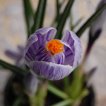 Crocus by monzrz