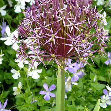 Ornamental Allium by pinkal