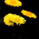 Coltsfoot by Gracey