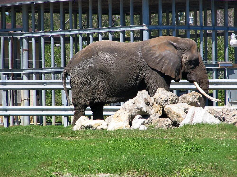 Elephant by Dan Shiels
