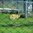 Lion - Female by Dan Shiels
