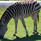 Zebra by Dan Shiels