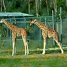 Baby Giraffe by Dan Shiels