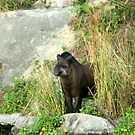 Tapir by Dan Shiels