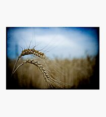 harvest time again II Photographic Print