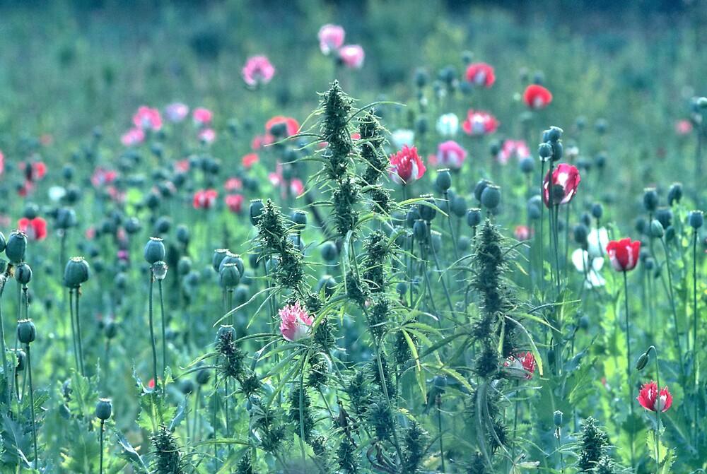 Pot in poppy by John Spies