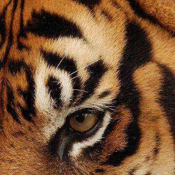 Tiger's eye by woolcos