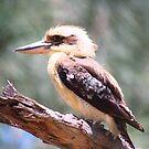 Goondawindi Kookaburra by Jayne Healy
