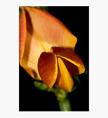The bloom of the broom. Photographic Print