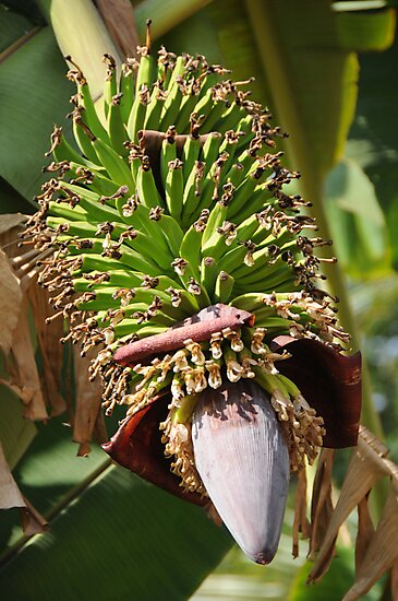 Bananas Flower by AravindTeki
