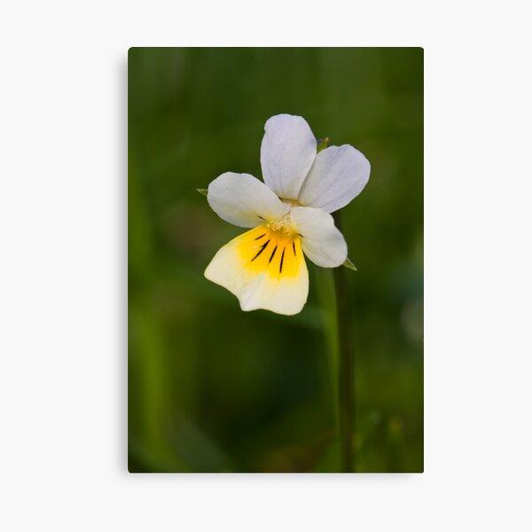 Field Pansy (Viola arvensis) Canvas Print