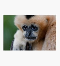 White Cheeked Gibbon Photographic Print