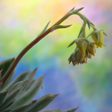 Succulent At Dawn by AngieDavies
