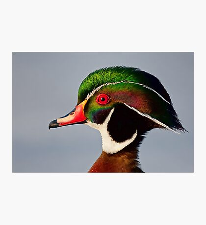 Colours of a Wood Duck Photographic Print