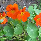 Orange Nasturtiums Photo Plants Pretty Garden by Jillian Crider