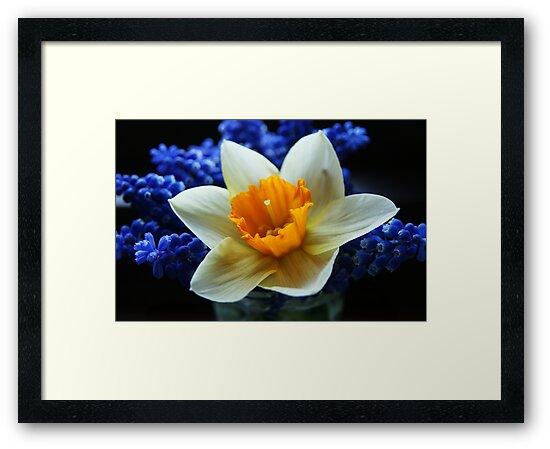 Daffodil on blue by George Parapadakis (monocotylidono)
