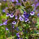 Ground Ivy (Glechoma hederacea) by Steve Chilton