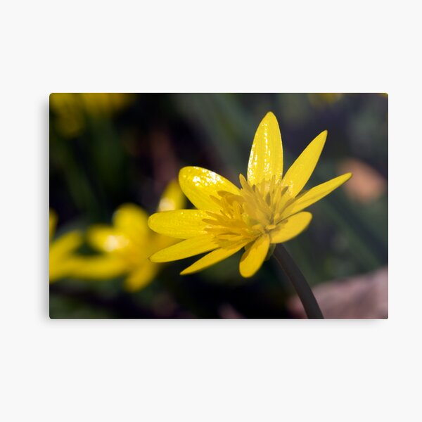 Lesser Celandine (Ranunculus ficaria) Metal Print
