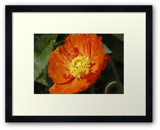 Orange poppy by CanDuCreations